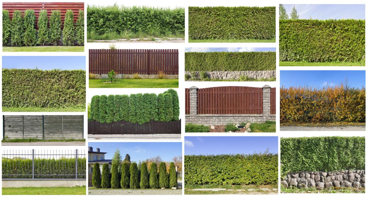 Planting a hedge fence