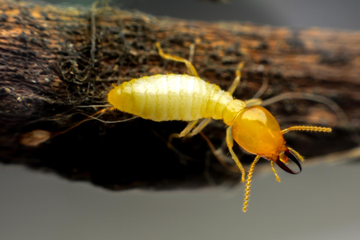 Termite Inspections and Treatments